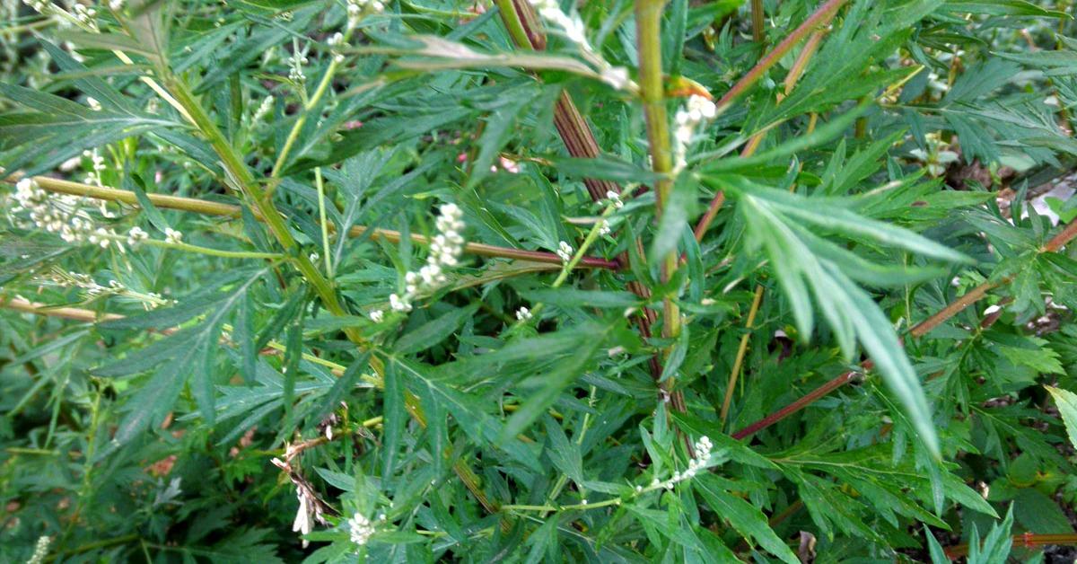 Bagno con artemisia per combattere la varicella bloom blog - Varicella bagno ...