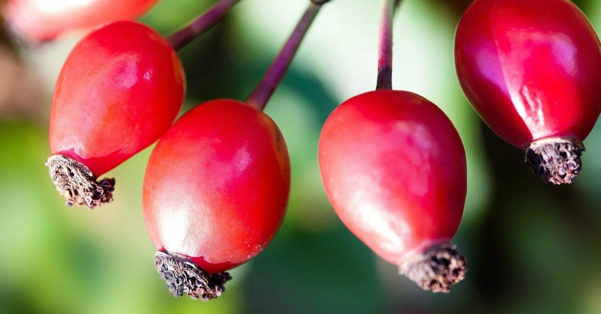 Rosa canina: l'oro rosso dell'autunno